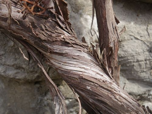 grapevine rotated dry