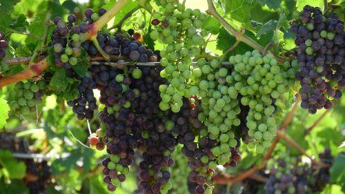 grapevine viticulture wine