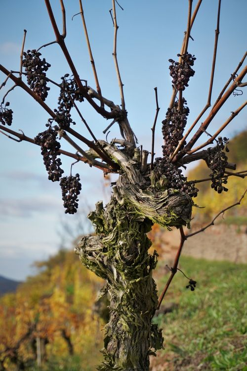 grapevine vineyard landscape