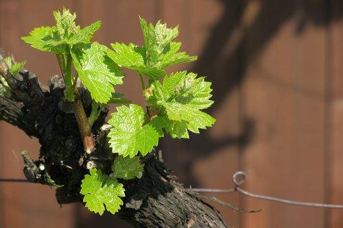grapevine  vine  plant