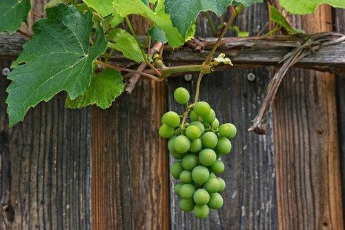 grapevine  vine  rank plant