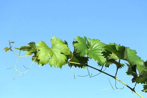 grapevine  sky  nature