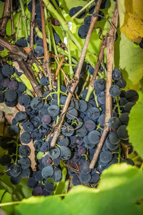 grapevine  green  foliage