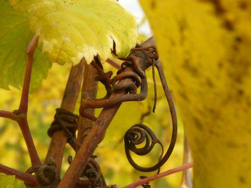 grapevine rebstock vine