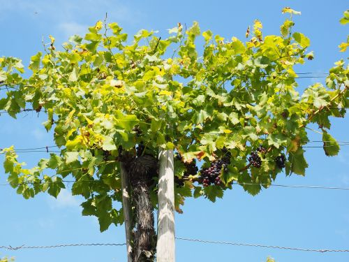 grapevine grapes winegrowing