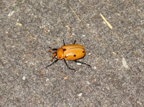 Grapevine Beetle Sideview