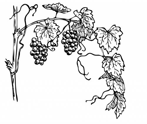 Grapevine Clipart Illustration