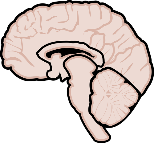 graphic  human brain  brain