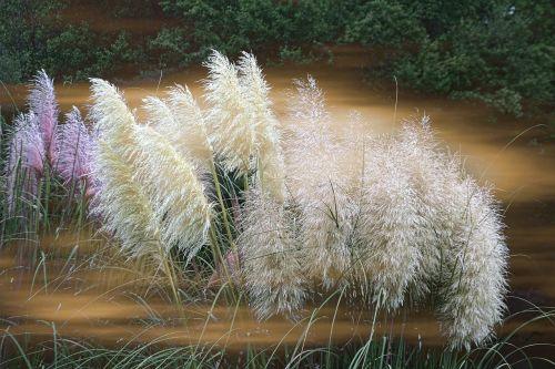grass ornamental featherly