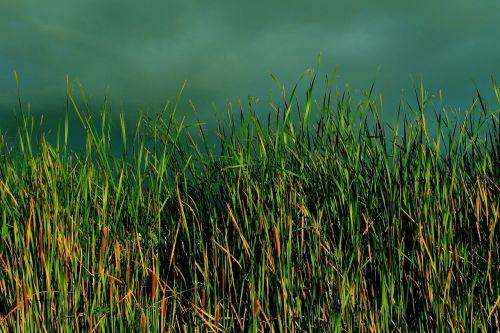 grass typha bulrush
