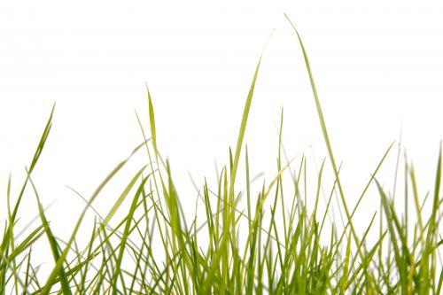 žolė, žalias, balta & nbsp, fonas, gamta, natūralus, sezonai, žolė
