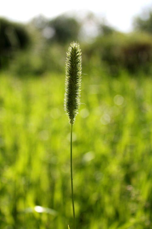 grass timothy summer
