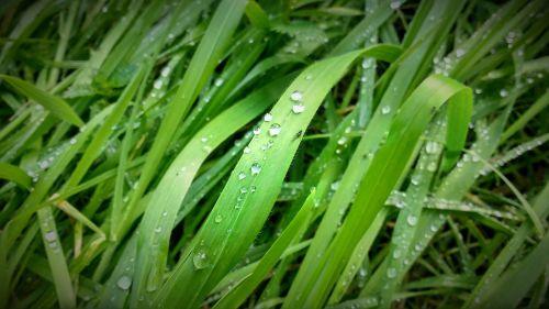 grass drops plants