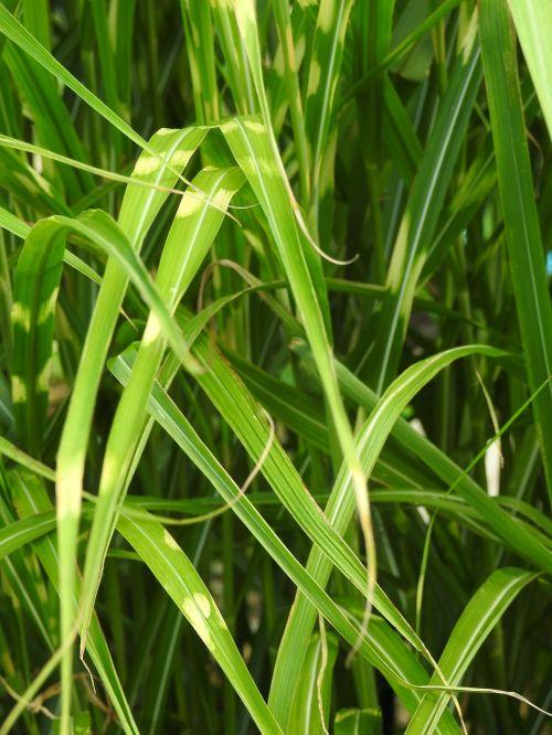 žolė,zebras žolė,dramblio žolė,bambukas,lapai,lapai,žalias,gamta,fonas,tapetai