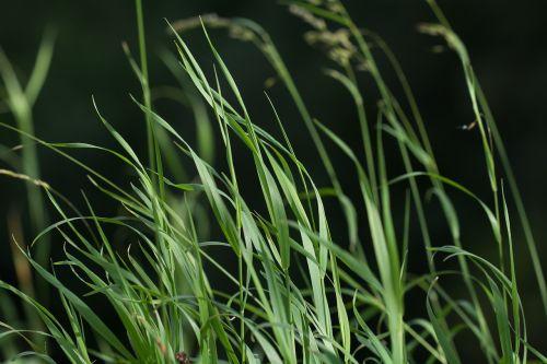 žolė,žalias,žolės,augalas,gamta,aukšta žolė,vasara,žalia žolė,Uždaryti,žole pieva