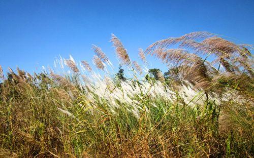 cambodia grass nature