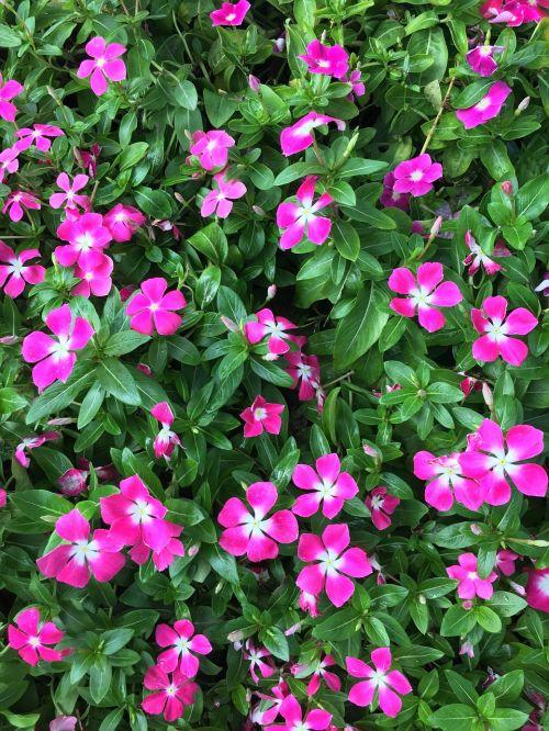 vinca wildflowers magenta