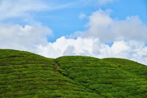 grass tea plantation plantation