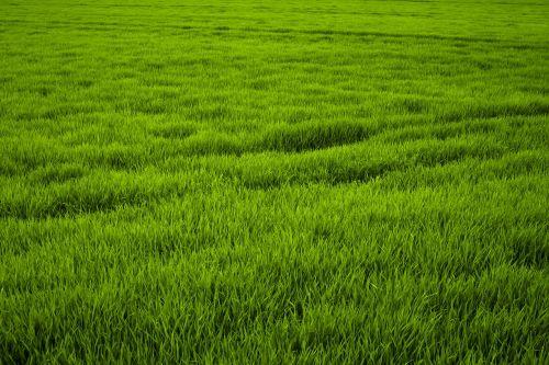 žolė,žalias,pieva,sultingas,frisch,gamta,žolės,aukšta žolė,žalia žolė,žole pieva,pavasaris,vasaros pieva,Uždaryti
