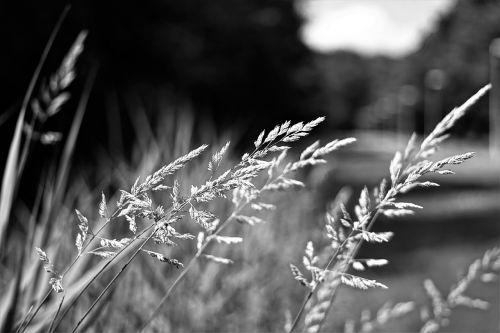 grass black white nature