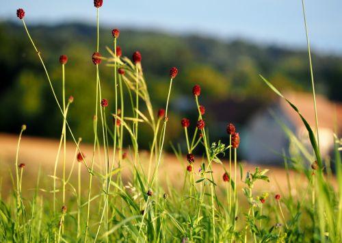 grass grasses blade of grass