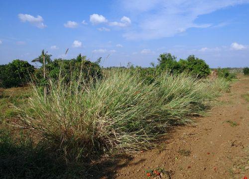 grass napier biomass