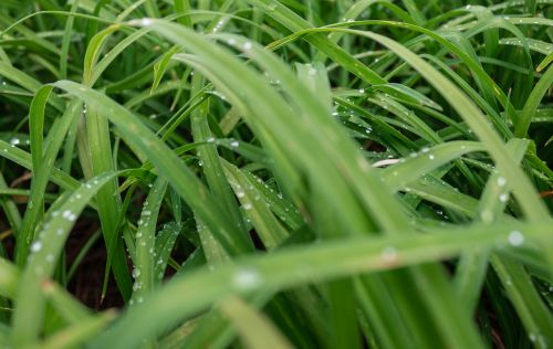 grass drops dew