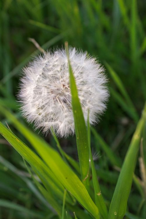 grass dandelion nature