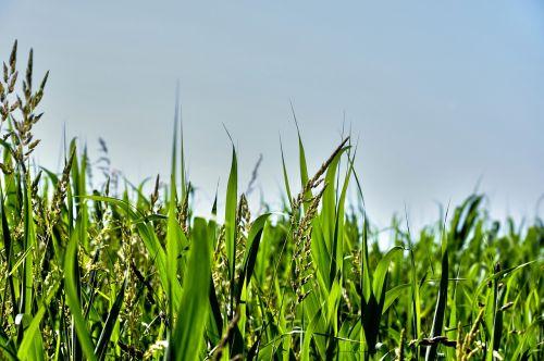 grass blades grass blades