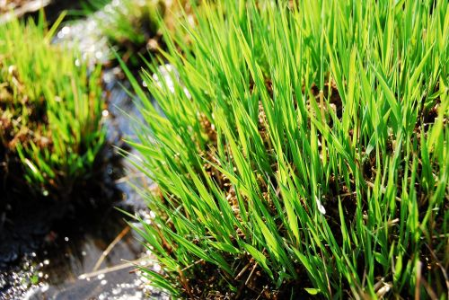 grass plant nature