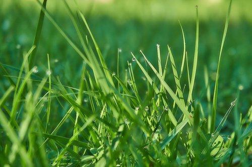 grass  blades of grass  drip