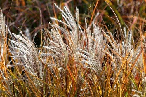 žolė, ruduo, sausa žolė, pobūdį, kraštovaizdis, Aukso ruduo, saulėta diena, sausas, rudi, ruduo žolė, ruduo gamta