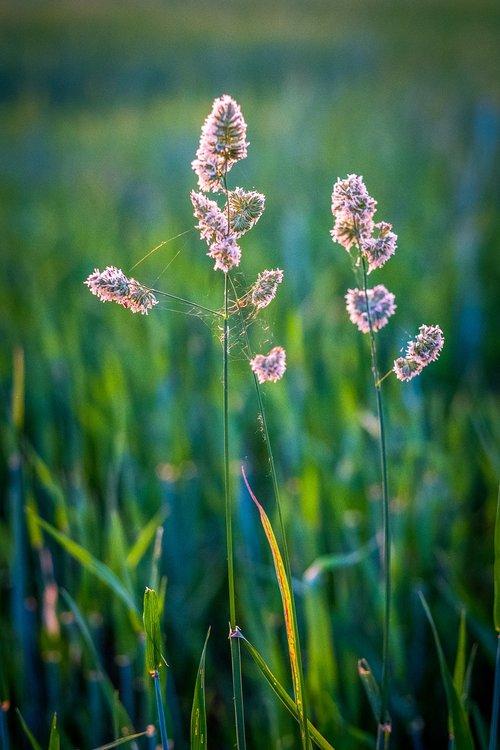 grass  grasses  bud