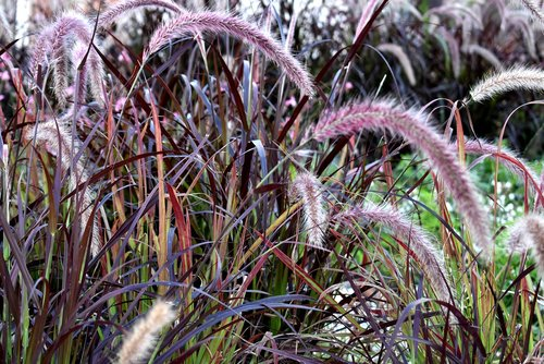grass  purple fountain grass  plant