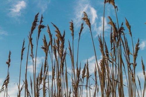 grass  bay  reeds