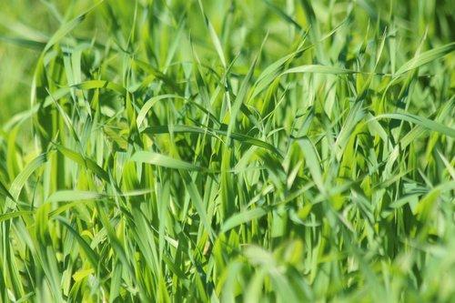 grass  oats  green oats