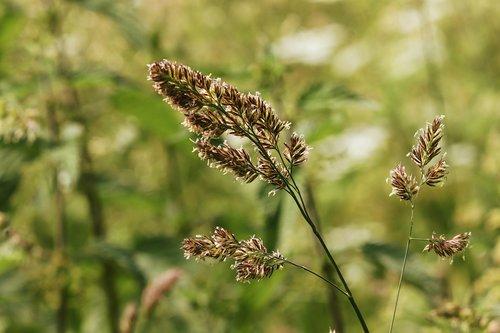 grass  blade of grass  grass flower