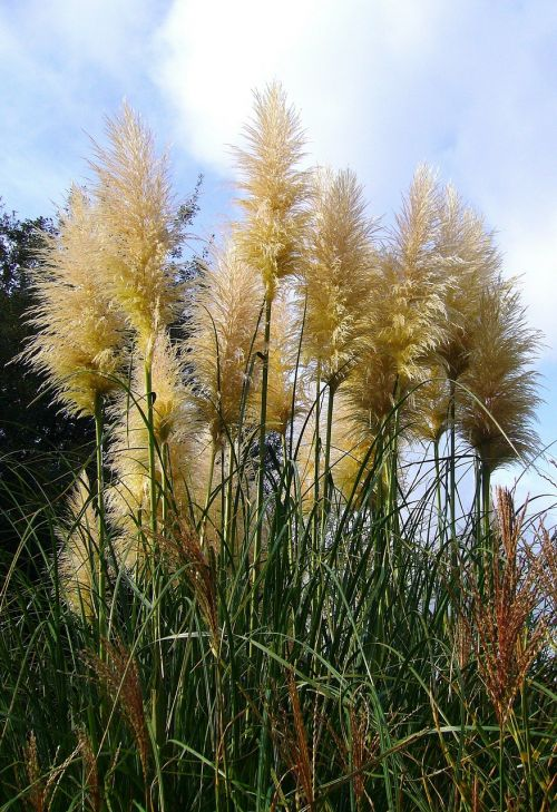 žolė,pampų žolė,Pampas,aukšta žolė,augmenija,laukiniai,flora,dekoratyvinė žolė,nendrė,aplinka