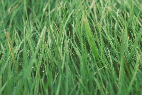 žolė,veja,žalias,sodrus,gamta,pieva,augimas,aplinka,laukas,augalas,šlapias,rasa,rusvas,pavasaris,vasara,šviežumas