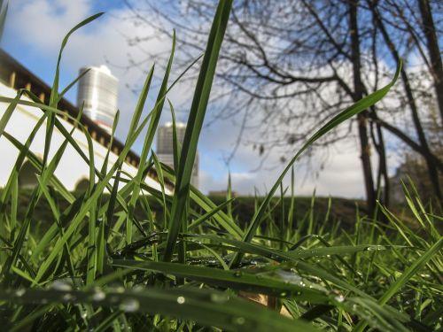 grass morning rosa