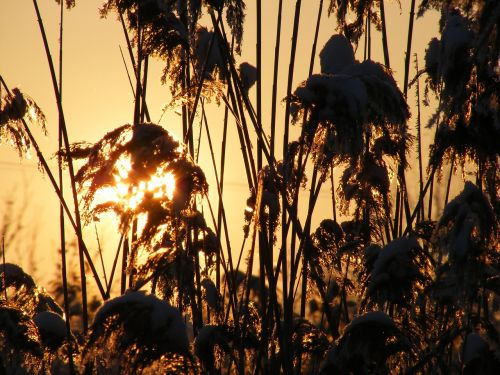 grass phragmites poales
