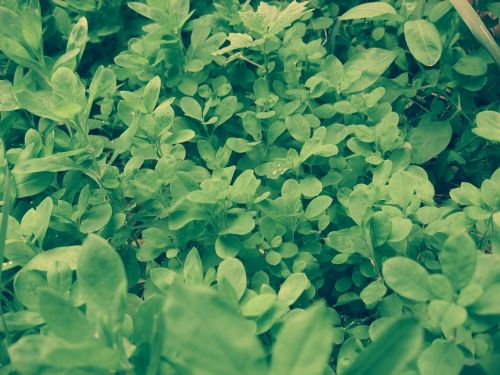 grass greens green leaves