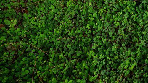 maži žali lapai,šliaužianti lapija,žalias kilimas,fonas,žolė užima žemę,žolelės,veja,žalias lapas,gamta,laukas,žalias,pre,flora,augalas,botanika,augalai,vasara,sodas,tapetai