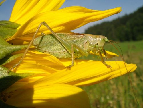 grass hopper sun flower summer