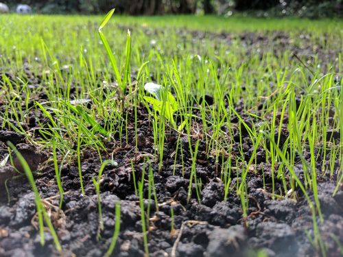 grass seed up close ground level