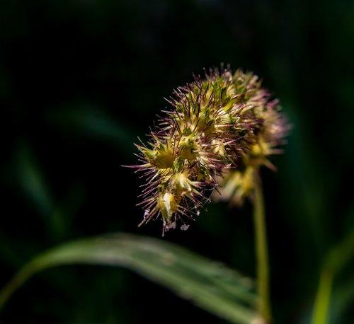 grass seeds  wild grain  grass