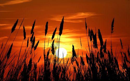 Grass Silhouette Sunset
