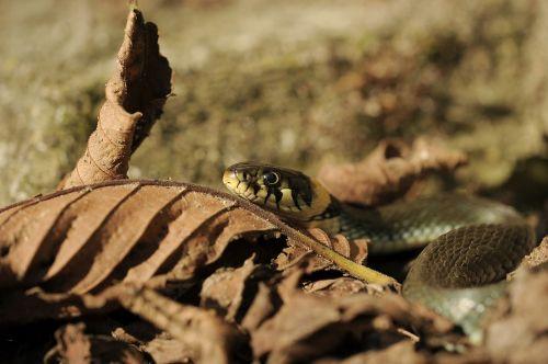 grass snake natter snake