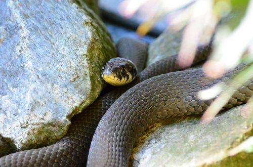 grass snake snake reptile