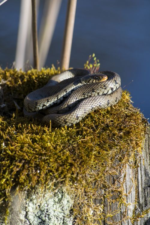 žolės gyvatė,rūšis,ropliai
